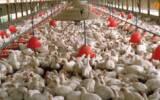 ماجرای خفگی مرغها در مرغداریها چیست؟
